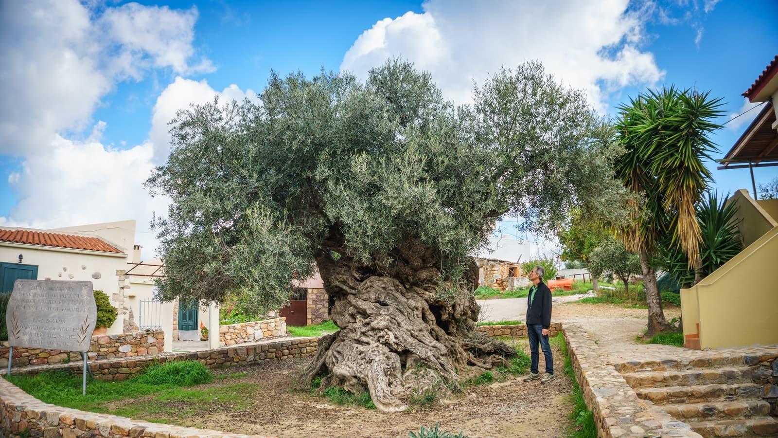 olivenbaum-jannis