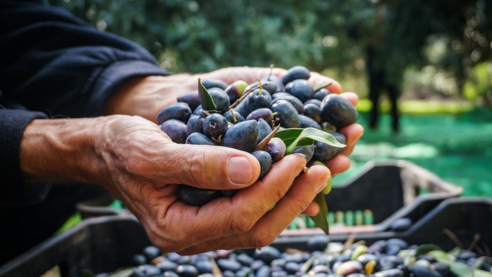 olivenernte