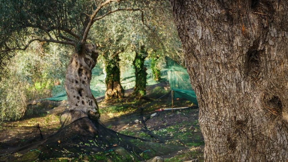 olivenoelbaeume