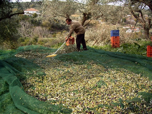 olivenölernte